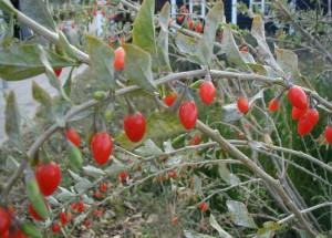 1024px-Lycium-barbarum-fruits